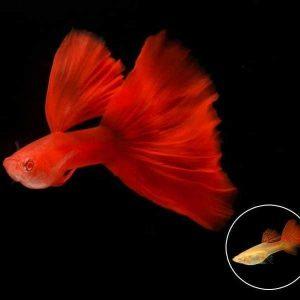 Cá Bảy Màu Full Red
