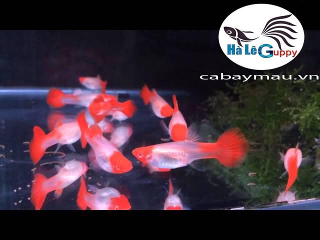 Cá Bảy (Màu Guppy) Koi Đỏ