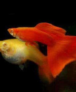 Full-Red-guppy