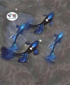 Cá 7 màu Blue Tazan