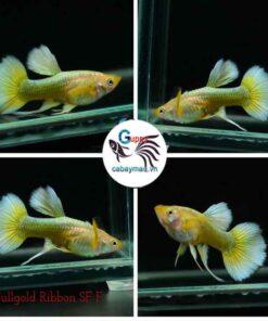 Cá 7 màu Full Gold Ribbon