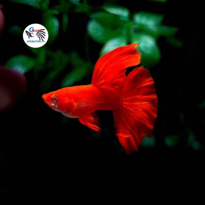 cá 7 màu Full Red
