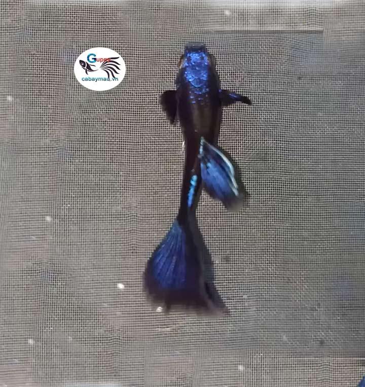 cá bảy màu Blue Tazan