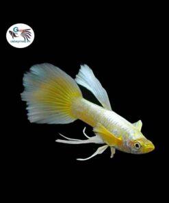 Cá bảy màu Full Gold Ribbon