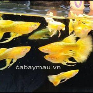 cá 7 mau Full Gold Ribon