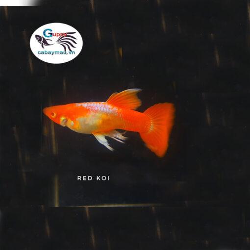 Cá bảy màu Koi Đỏ