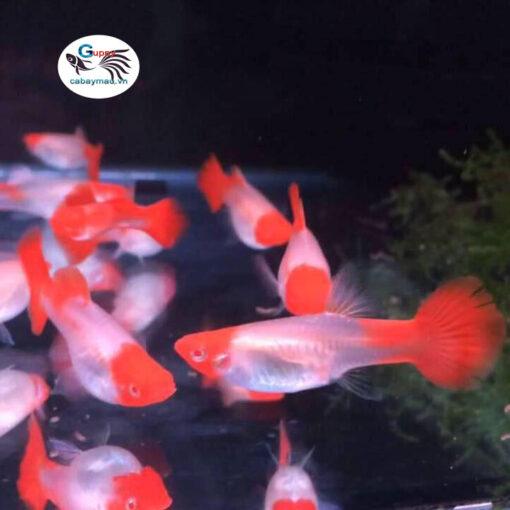 cá bảy màu Koi Gen Red Ear