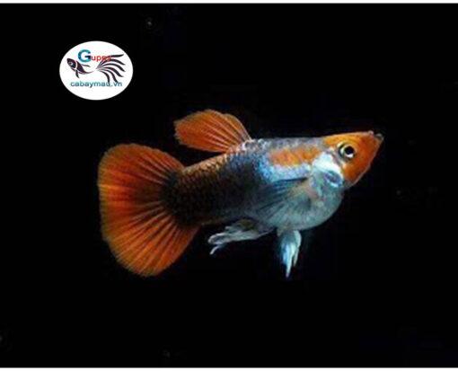 Cá bảy màu Koi Short