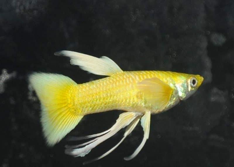 cá bảy màu Full Gold Ribon