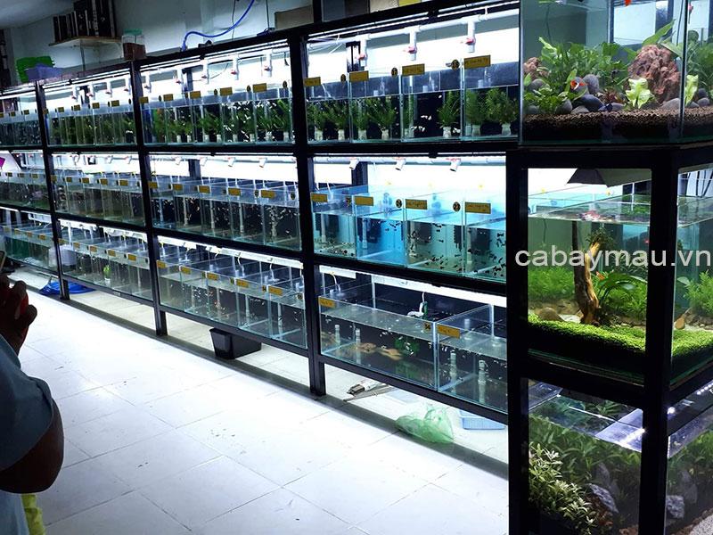 Trại cá bảy màu thái
