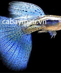 Cá Bảy Màu Thái Blue Grass Guppy