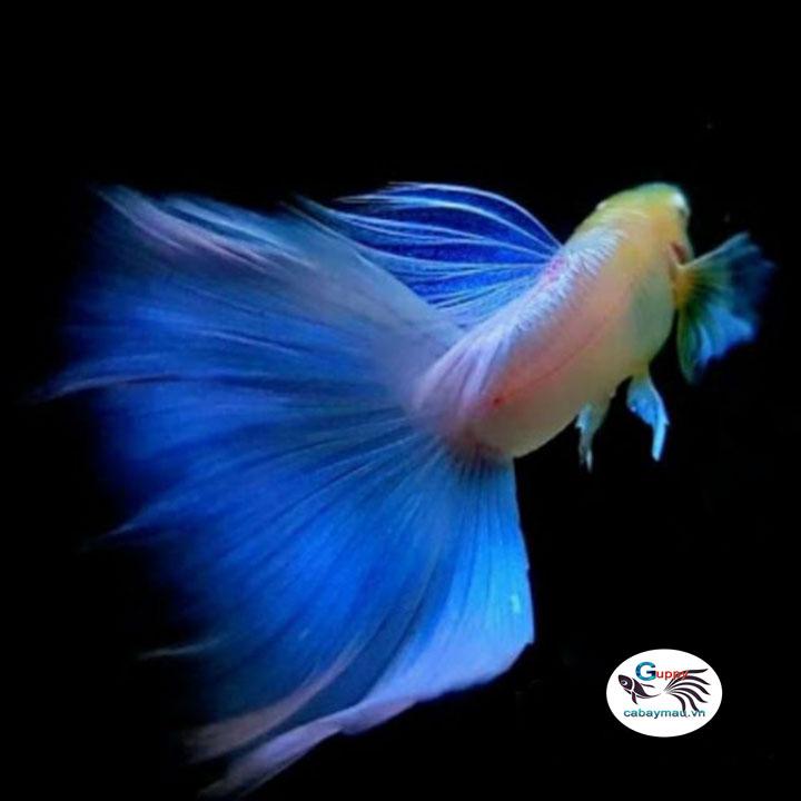 cá bảy màu xanh topaz