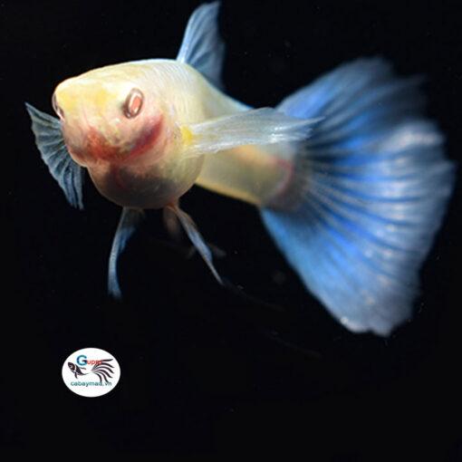 cá 7 màu blue topaz