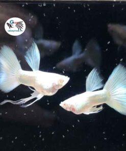 cá 7 màu Full trắng