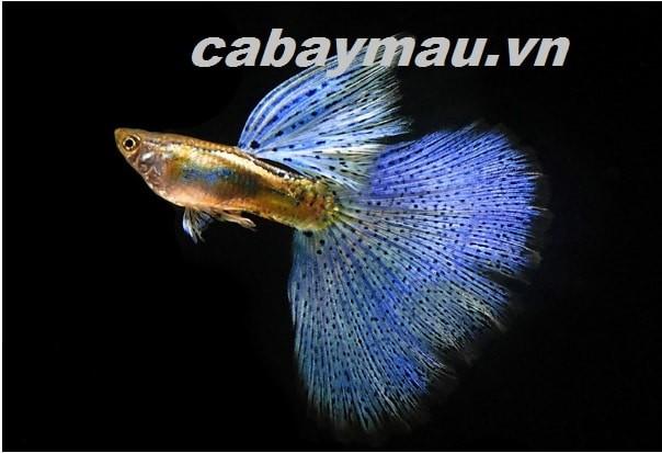 cá bảy màu blue grass đẹp lung linh