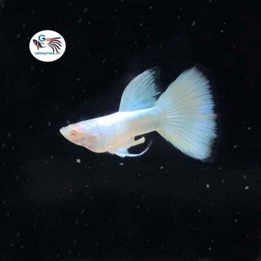 Cá bảy màu Full Platinum