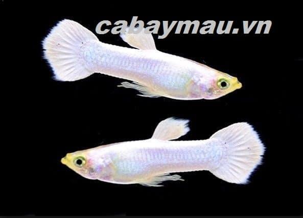 cá bảy màu full platium