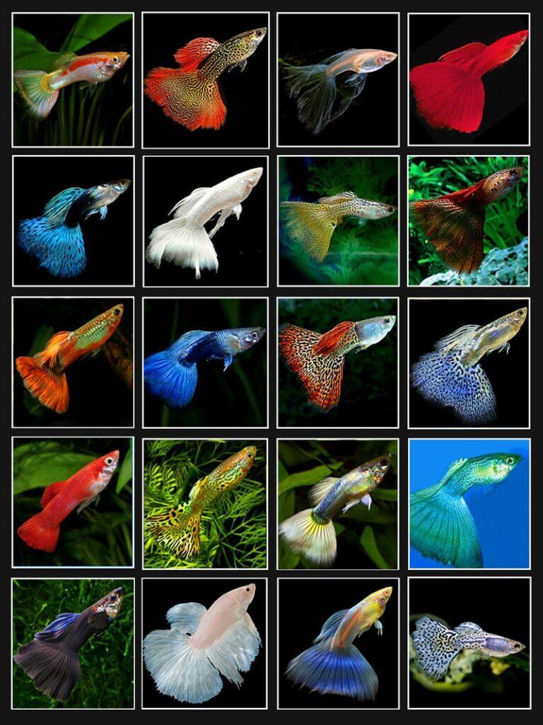 các loại cá bảy màu thái