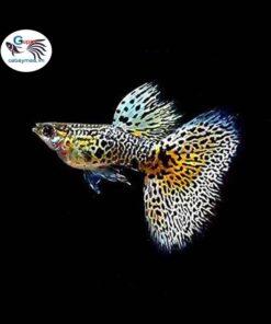 cá 7 màu tiger king