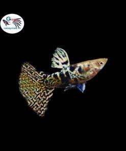 cá bảy màu tiger king cobra