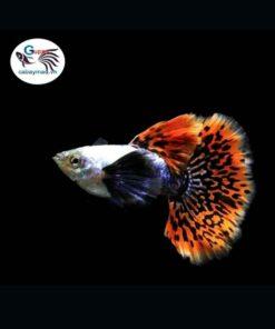 Cá bảy màu Dumbo Mosaic