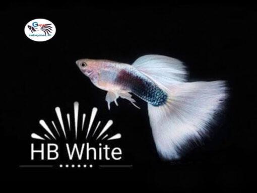 Cá bảy màu HB White