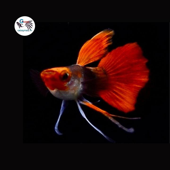 Cá bảy màu Koi Short Ribbon Tai Bơi Bướm