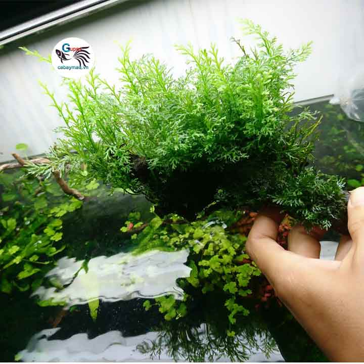 Cách trồng dương xỉ thủy sinh
