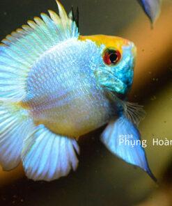 Cá Phượng Hoàng Lam