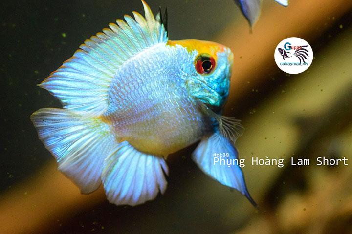 Cá Phương Hoàng Lam
