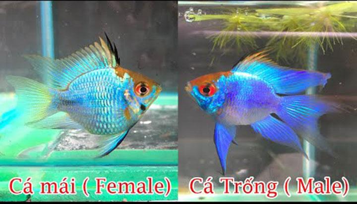 Cách phân biệt cá Phượng Hoàng trống mái