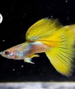 Cá bảy màu Gold Tuxedo