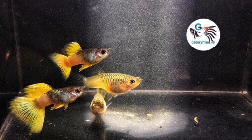 cá bảy màu Ping Gu