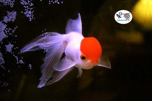 cá hạt đỉnh hồng giá bao nhiêu