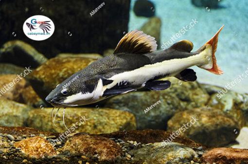 Cá Hồng Vĩ