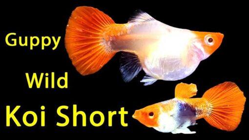 wild koi short