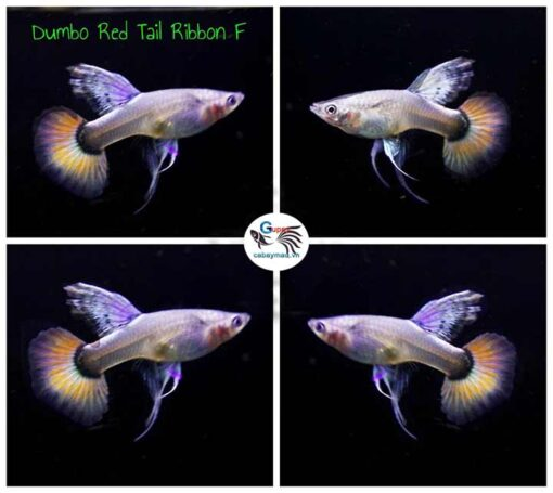 Dumbo Red Tail Ribbon Guppy
