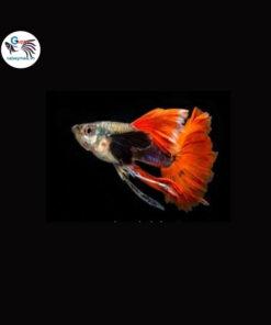 Cá bảy màu Dumbo Red Tail Ribbon