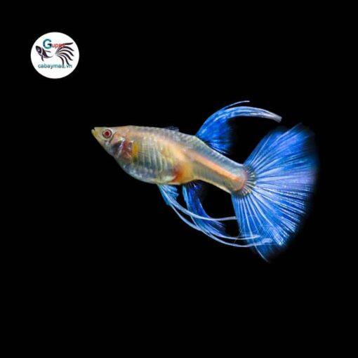 Cá bảy màu Blue Topaz Ribbon