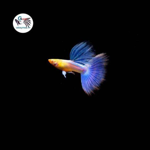 Cá bảy màu Blue Topaz