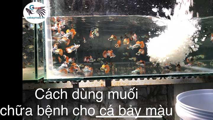cách sử dụng muối hột  trị bệnh nấm cho cá bảy màu