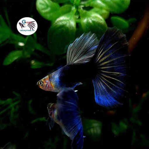 Cá bảy màu Hb Blue