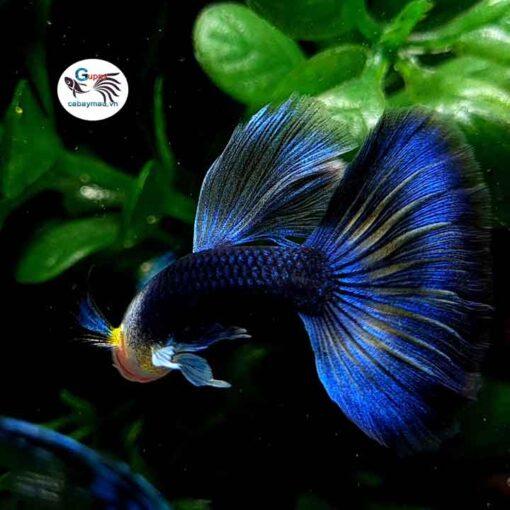 Hb Blue Guppy
