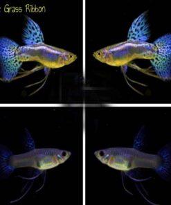 cá 7 màu Blue Grass