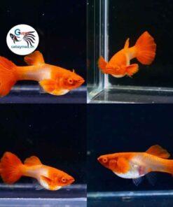 Cá 7 màu Koi