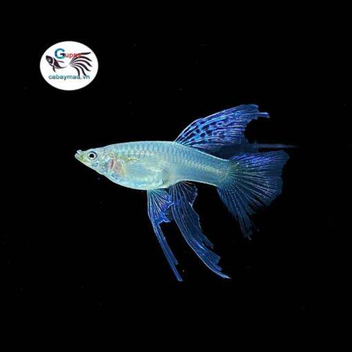 cá bảy màu Blue Grass Ribbon