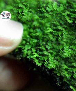 Rêu Minifiss