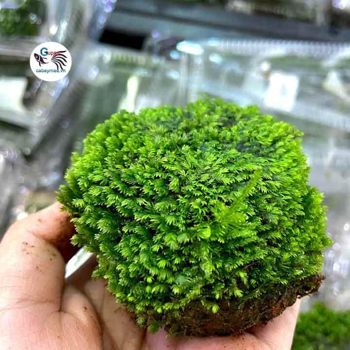 Rêu minifiss lá nước